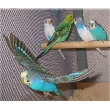 Волнистый попугай(самка)